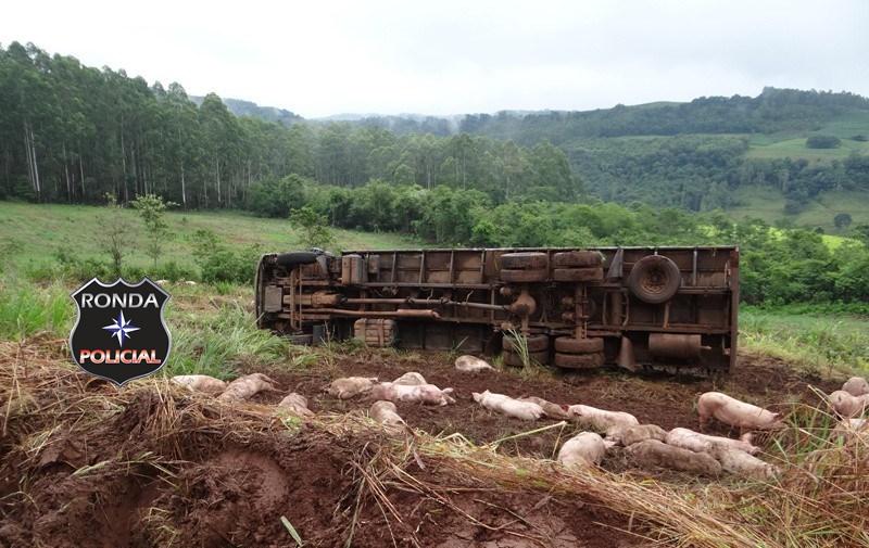 Caminhão de suínos tomba em estrada rural