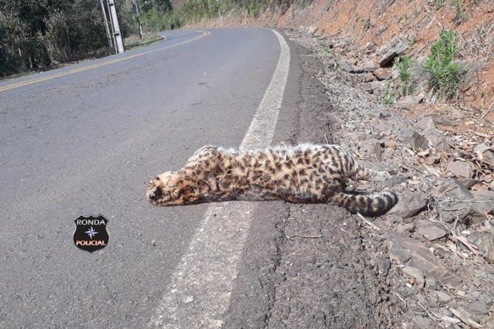 Jaguatirica é encontrada morta no interior de Vargeão