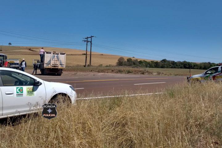 Caminhão boiadeiro é flagrado transportando animais sem guias de transporte na SC-480