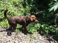 Cão Iron do Cbm de Xanxerê se machuca durante buscas por idoso desaparecido
