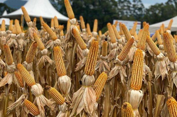 Santa Catarina inicia distribuição de sementes de milho do Programa Terra Boa