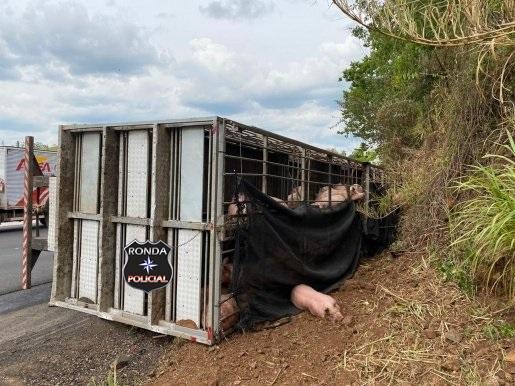 Caminhão carregado de suínos tomba na BR-282