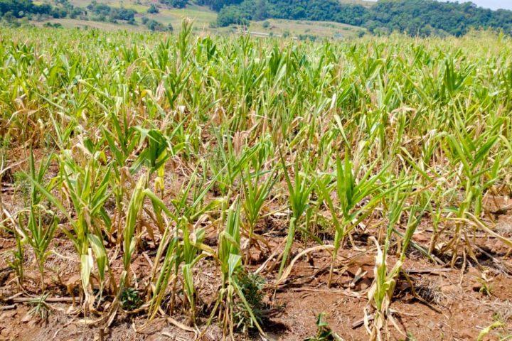 Seca avança e derruba produção agrícola no Oeste de Santa Catarina